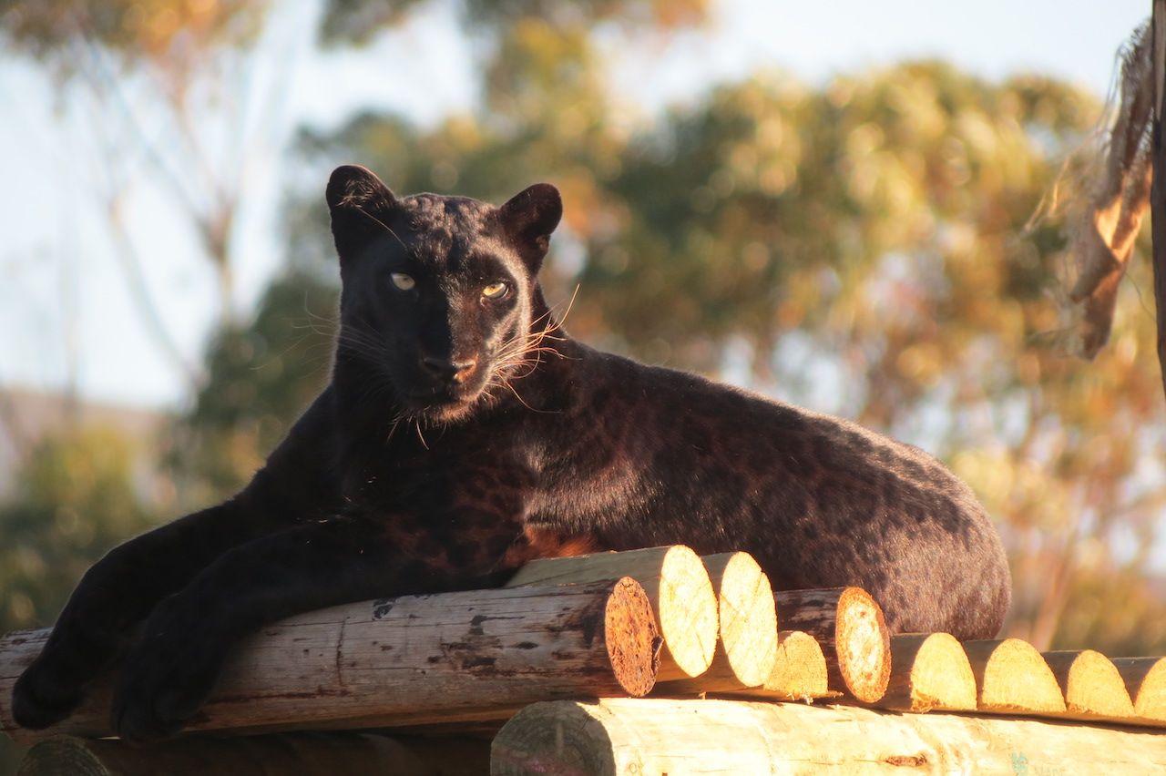 Cat Food Reviews >> Panthera Africa Big Cat Sanctuary , Stanford